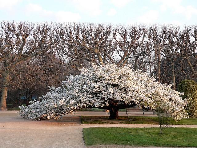 Prunus Serrulata Cerisier A Fleurs Ville De Plessis Robinson